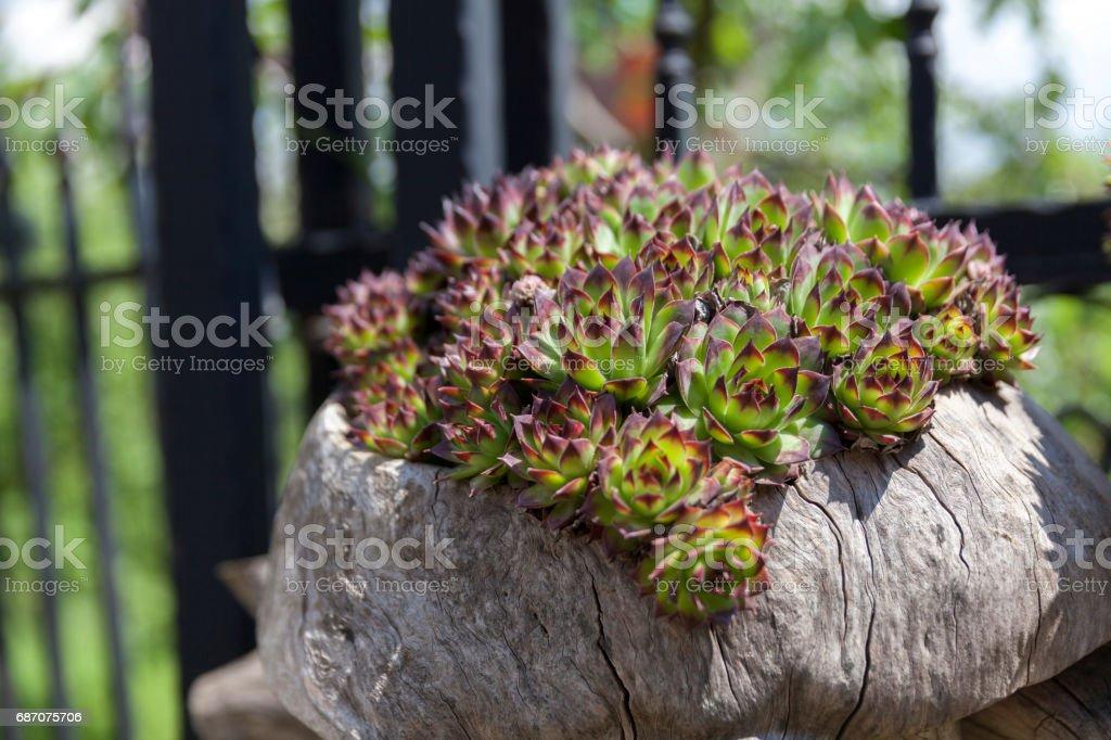 green sempervivum stock photo