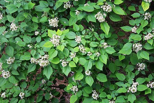 green shawnee-holz (catalpa) fährt - trompetenbaum stock-fotos und bilder