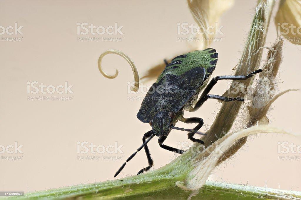 Green Shield Bug royalty-free stock photo