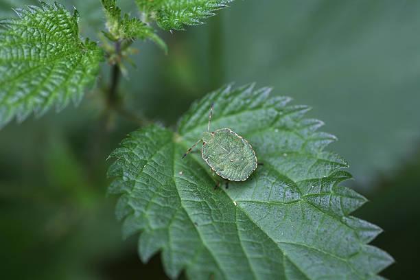 Grüne shield bug – Foto