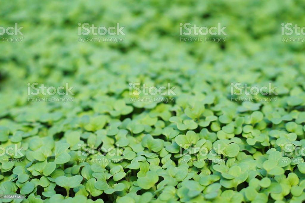 brotes verdes de la mostaza - foto de stock
