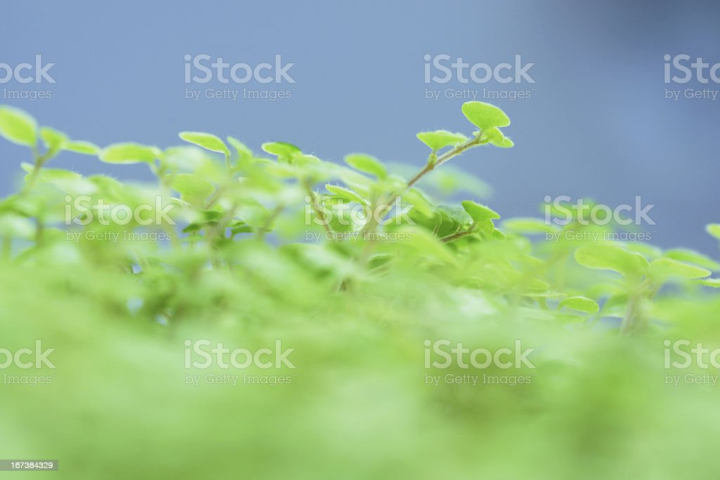 green shoots of the plant. royalty-free stock photo