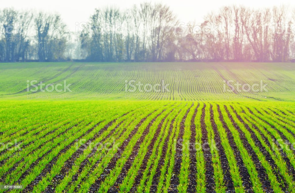 green shoots of wheat on farmer field in spring. agricultural background stock photo