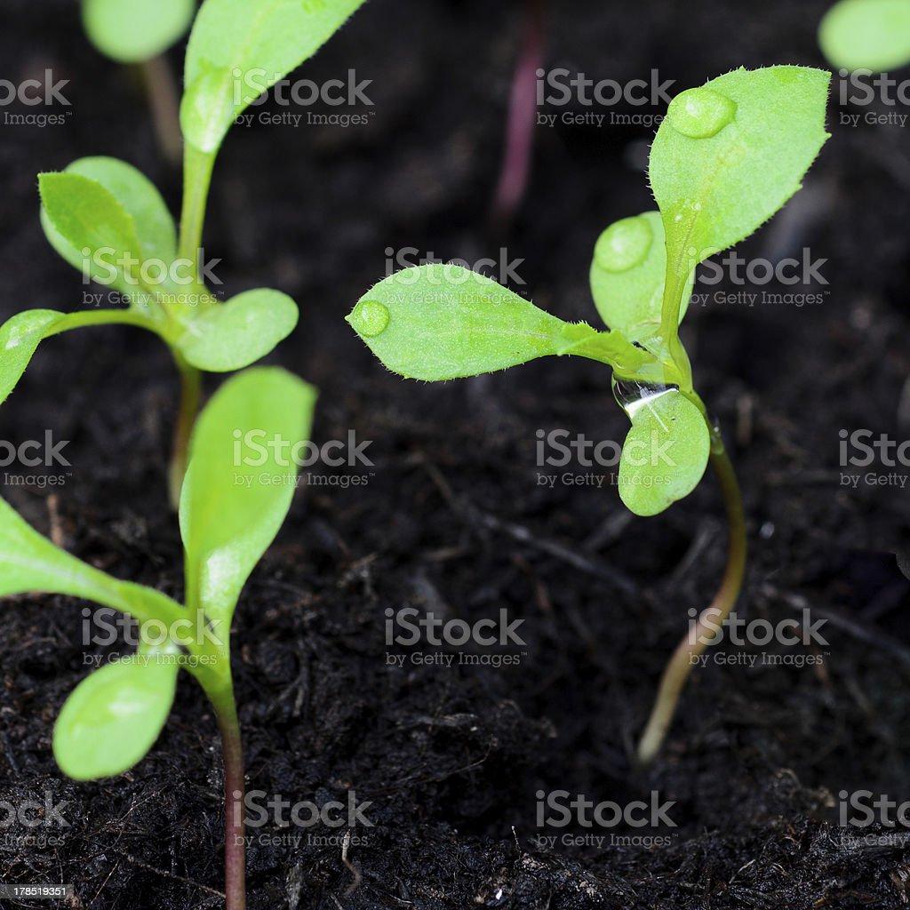 Green shoots royalty-free stock photo