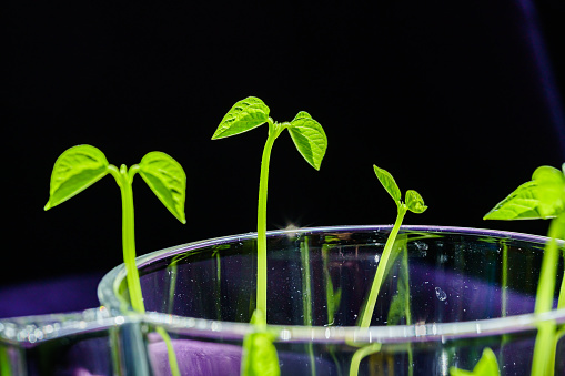 937082408 istock photo Green shoots. Steps of plant sowing and growing. Green bean sprouts. Green leaf plant in vase 1225797547