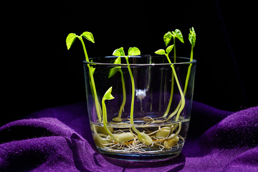 937082408 istock photo Green shoots. Steps of plant sowing and growing. Green bean sprouts. Green leaf plant in vase 1225797582