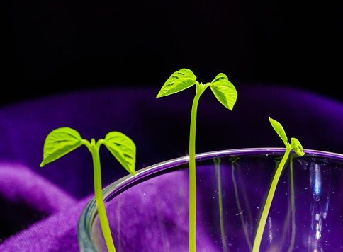937082408 istock photo Green shoots. Steps of plant sowing and growing. Green bean sprouts. Green leaf plant in vase 1225797623