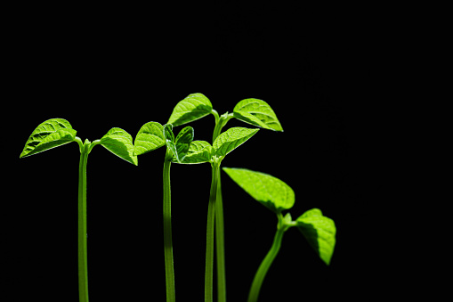 937082408 istock photo Green shoots. Steps of plant sowing and growing. Green bean sprouts. Green leaf plant in vase 1225797641