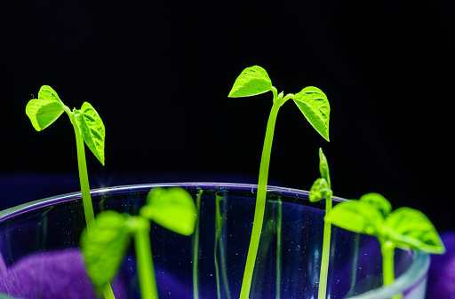 937082408 istock photo Green shoots. Steps of plant sowing and growing. Green bean sprouts. Green leaf plant in vase 1225797694