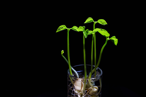 937082408 istock photo Green shoots. Steps of plant sowing and growing. Green bean sprouts. Green leaf plant in vase 1225797704