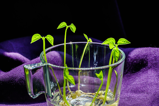 937082408 istock photo Green shoots. Steps of plant sowing and growing. Green bean sprouts. Green leaf plant in vase 1225797710