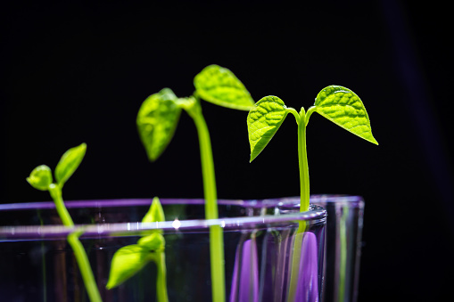 937082408 istock photo Green shoots. Steps of plant sowing and growing. Green bean sprouts. Green leaf plant in vase 1225797712