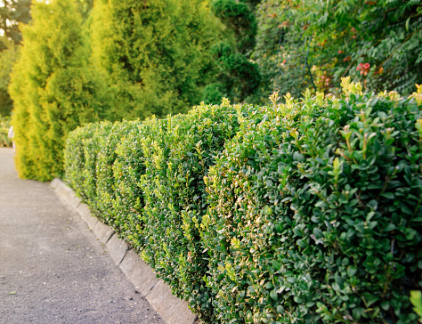 green shrub fence in garden
