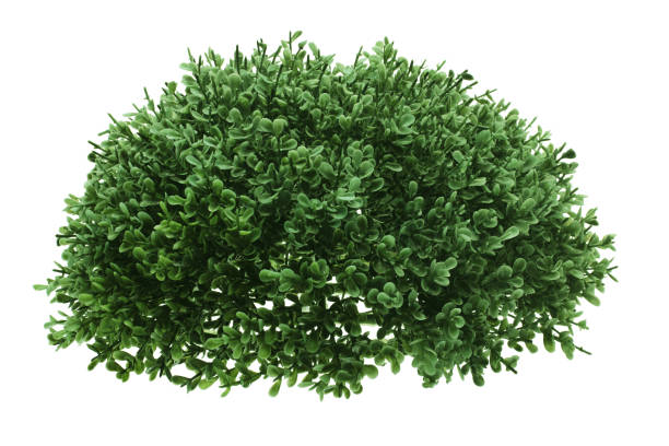 green shrub - bush stock pictures, royalty-free photos & images