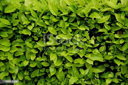 Green shrub wall natural texture background with the ground concrete. Authentic tree bush leaves wallpaper detail pattern backdrop for fence design architecture and decoration.