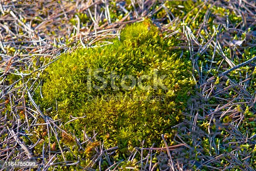 639394370istockphoto Green Siberian moss in the forest outside the city.  Summer. 1164755099