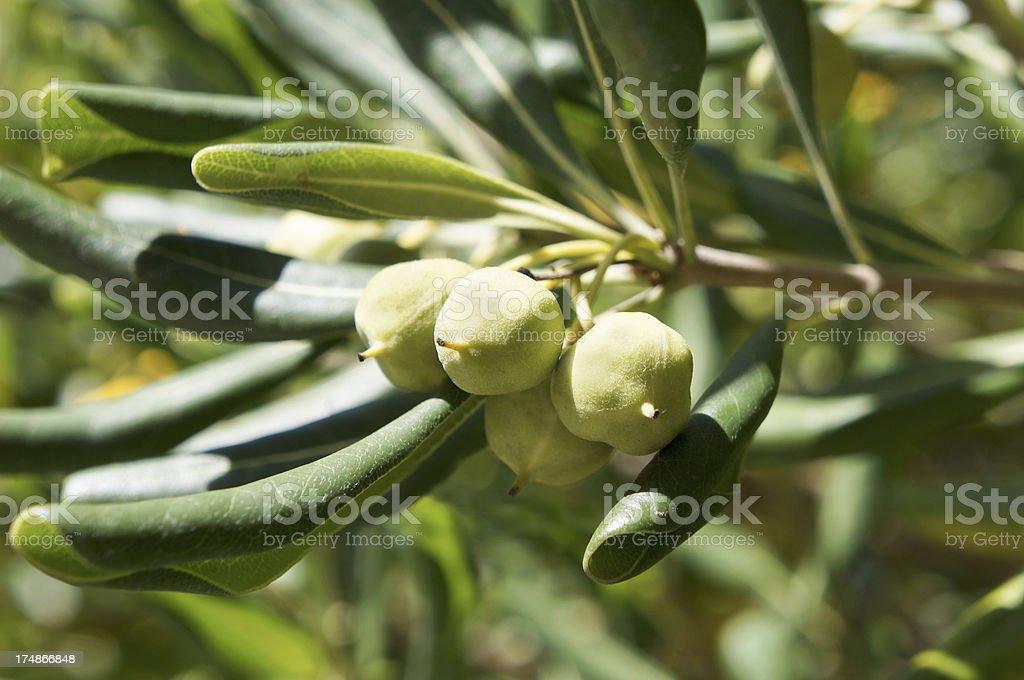 Green Sicilian Capers stock photo
