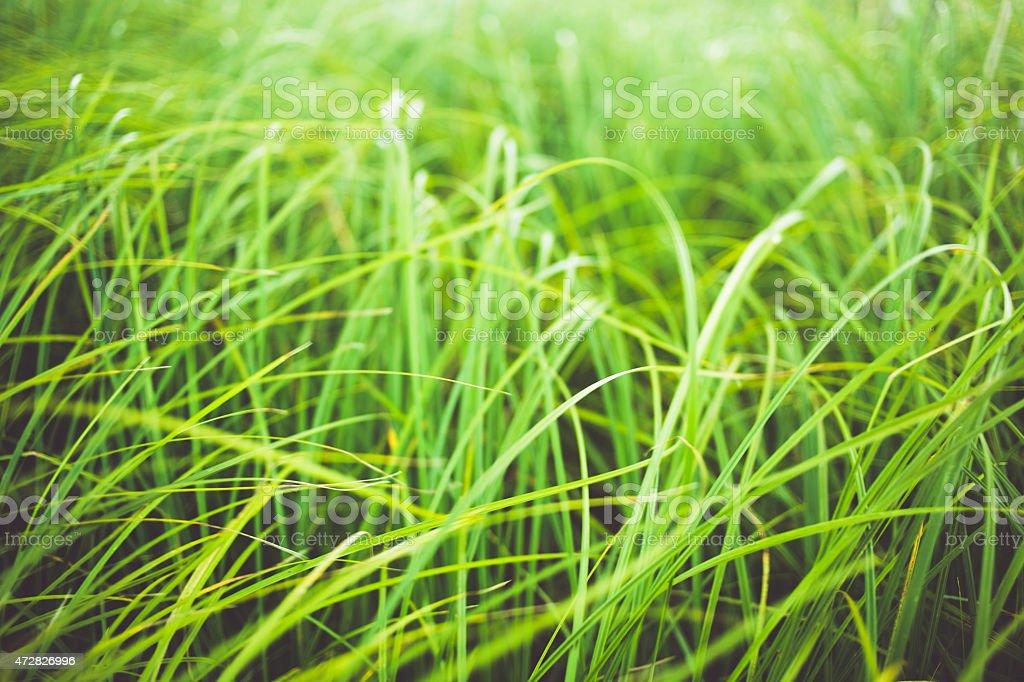 Green silky grass stock photo