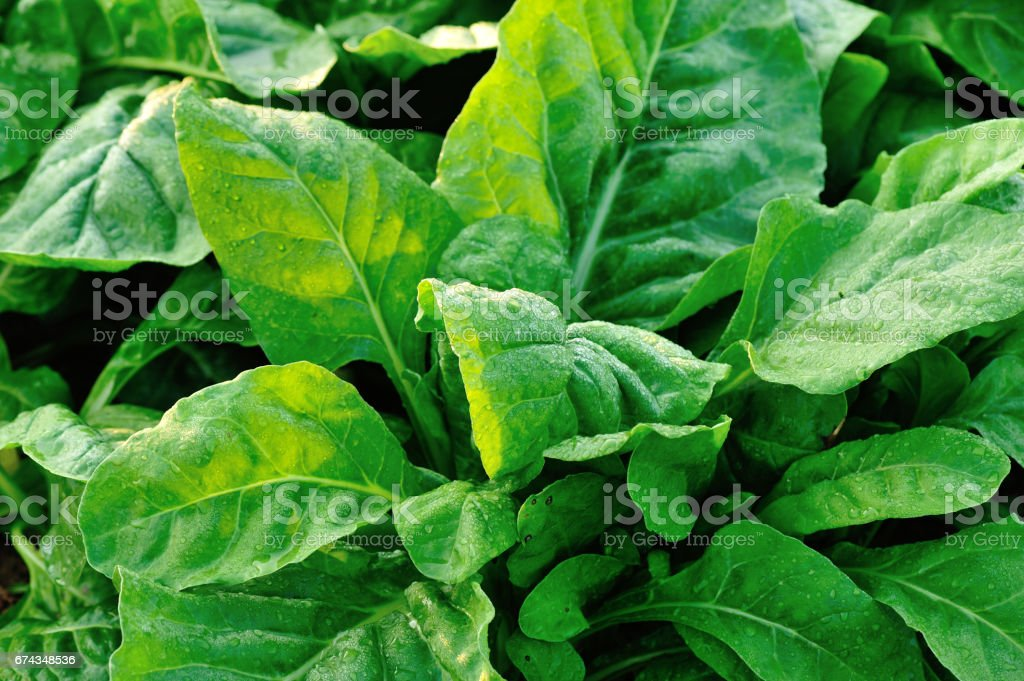 green sliver beet plants in growth at garden stock photo
