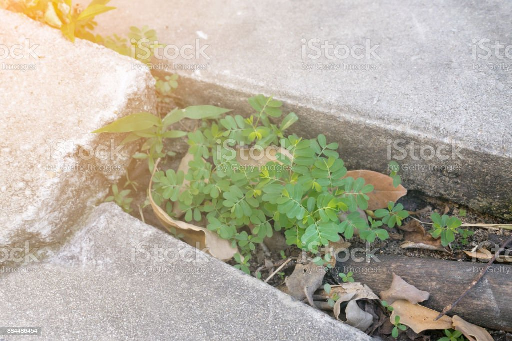 green small trees and Root grow in groove of concrete floor stock photo