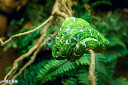 Green snake in terrarium in zoo. Green snake laying down on the branch in zoo