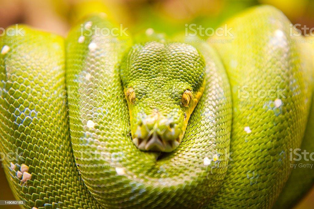 Green snake royalty-free stock photo