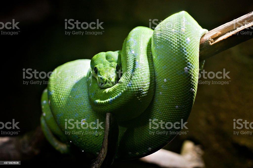 green snake stock photo