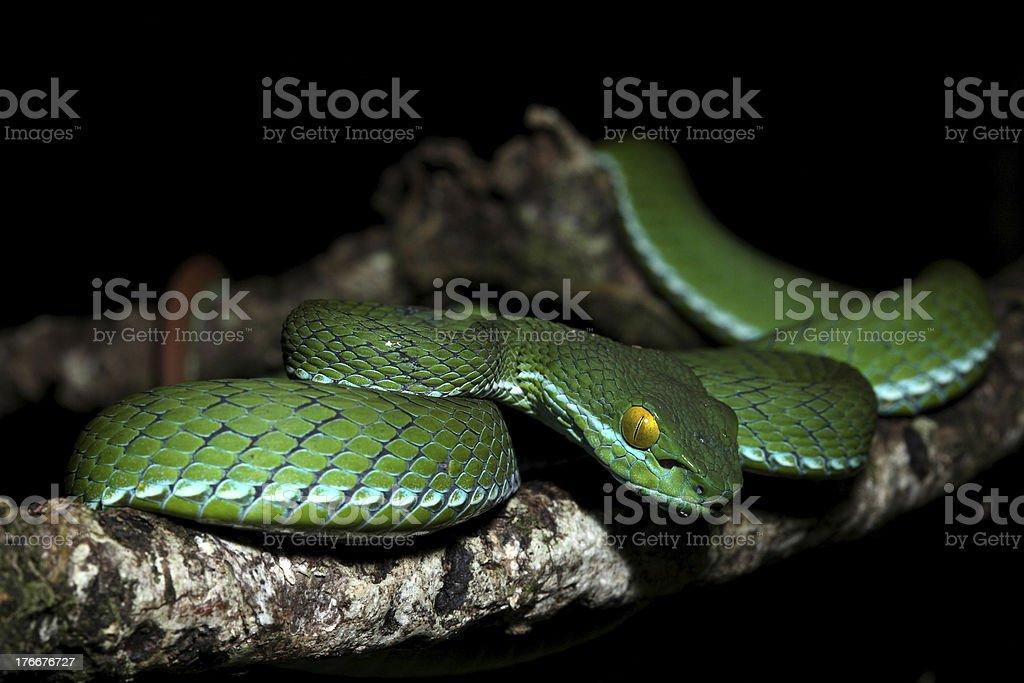 Green snake, Thailand royalty-free stock photo