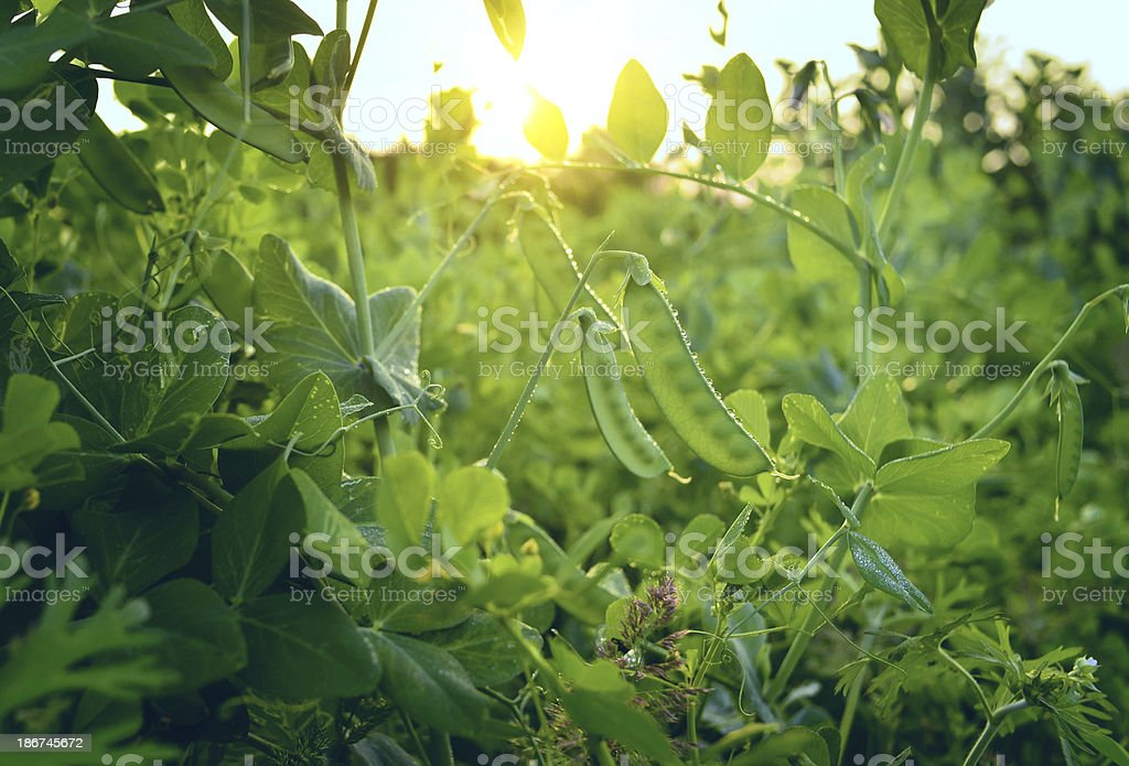 Green Snow Pea stock photo
