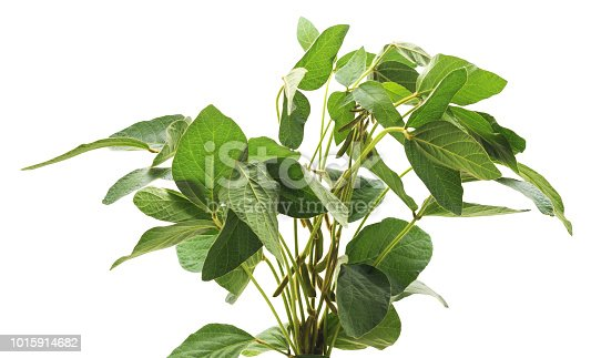 Green soybean bush isolated on a white background.