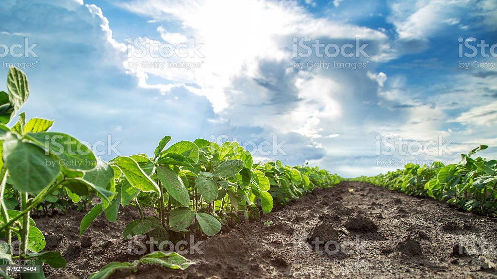Green soybean plants close-up shot, mixed organic and gmo stock photo