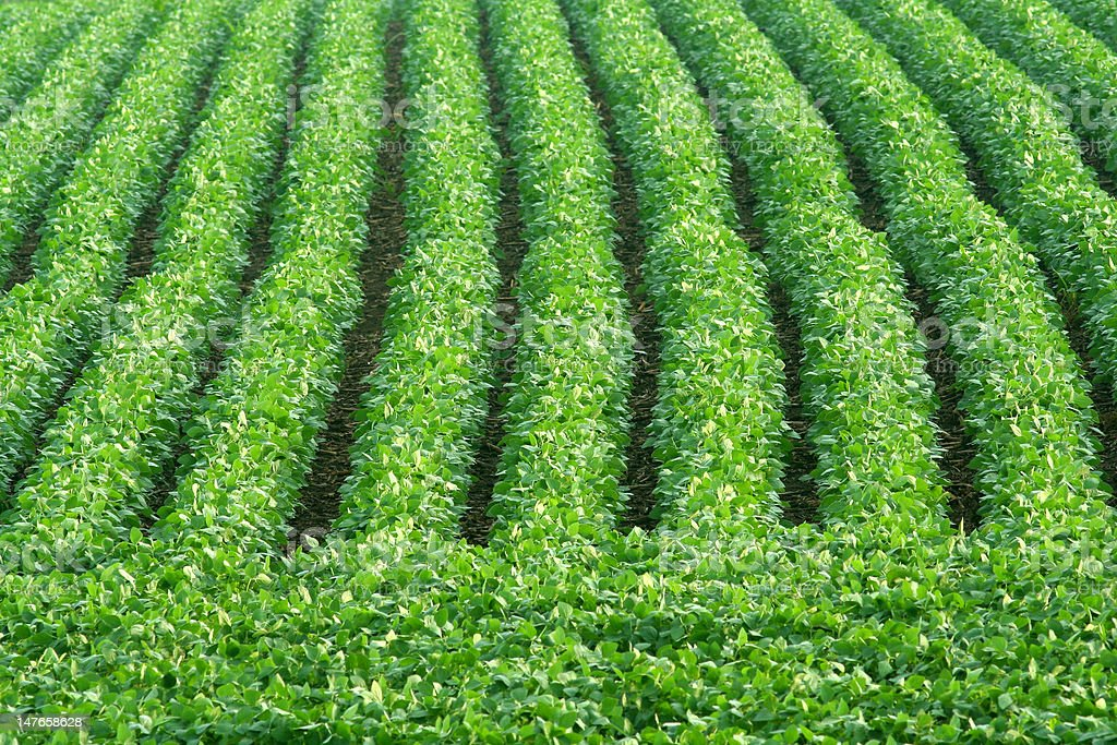 green soybean rows royalty-free stock photo