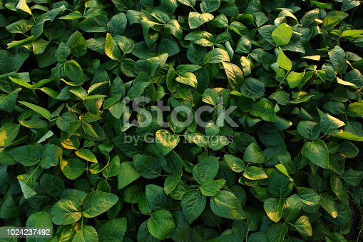 istock Green soybeans field background 1024237492