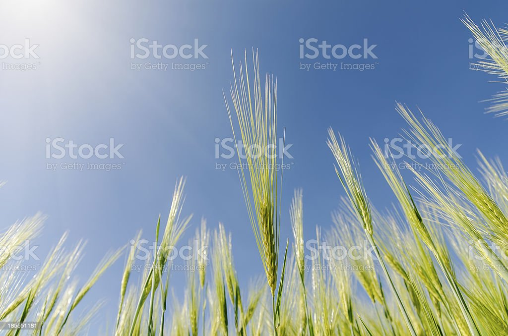 green spica and sun over it royalty-free stock photo