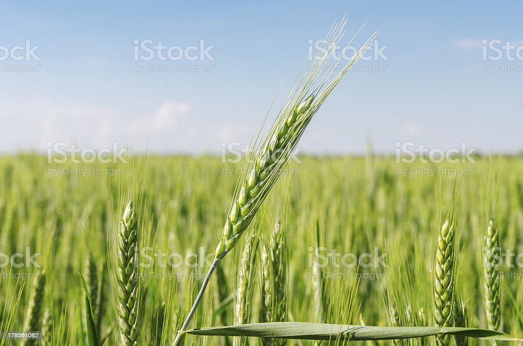 green spikelet over field royalty-free stock photo