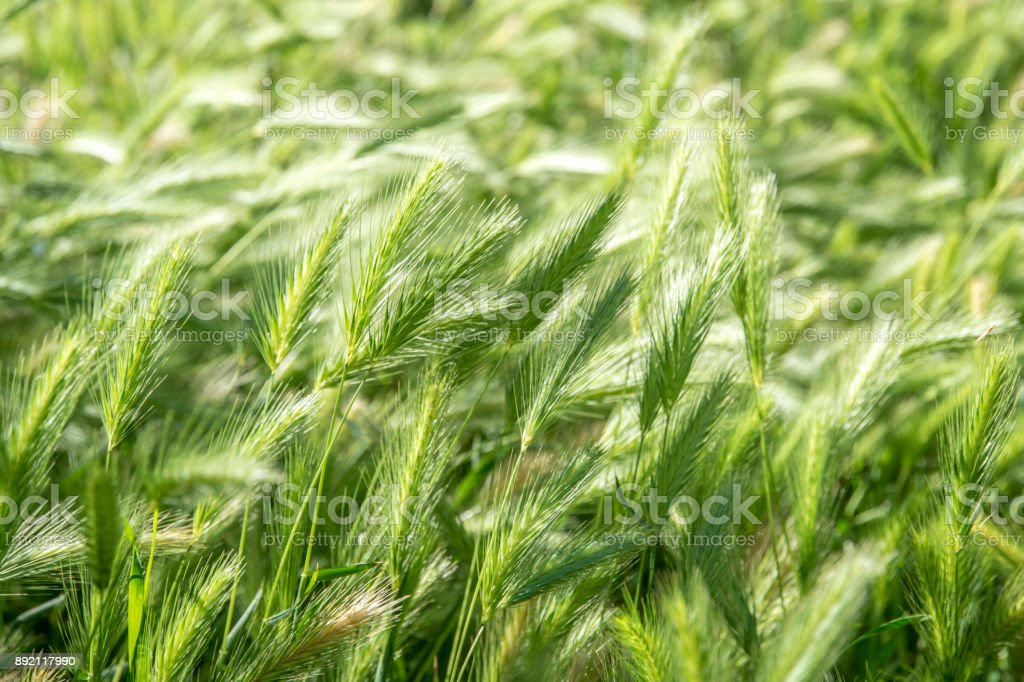 Green spikelets background stock photo