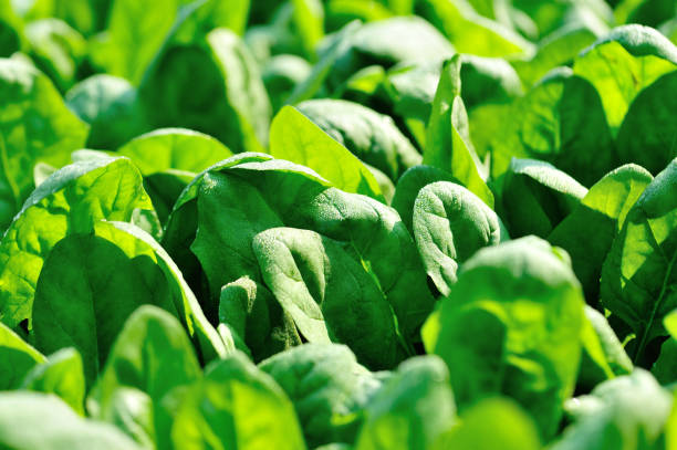 Green spinach in growth at vegetable garden stock photo