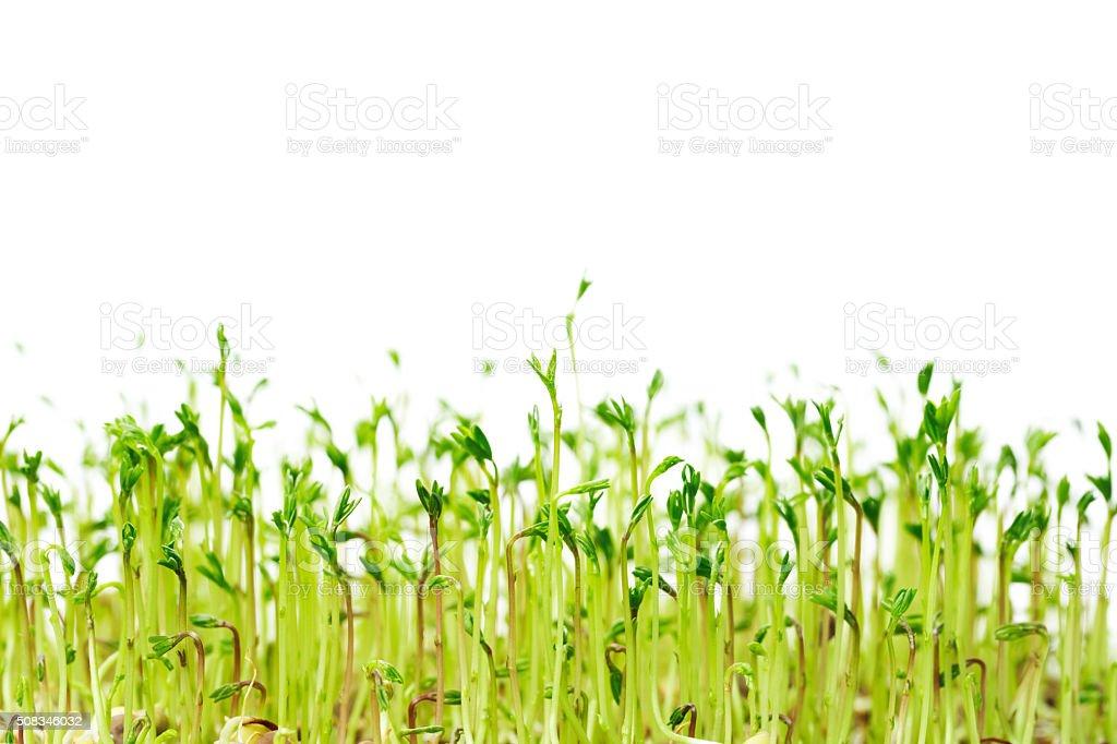 Green spouts of lentis stock photo