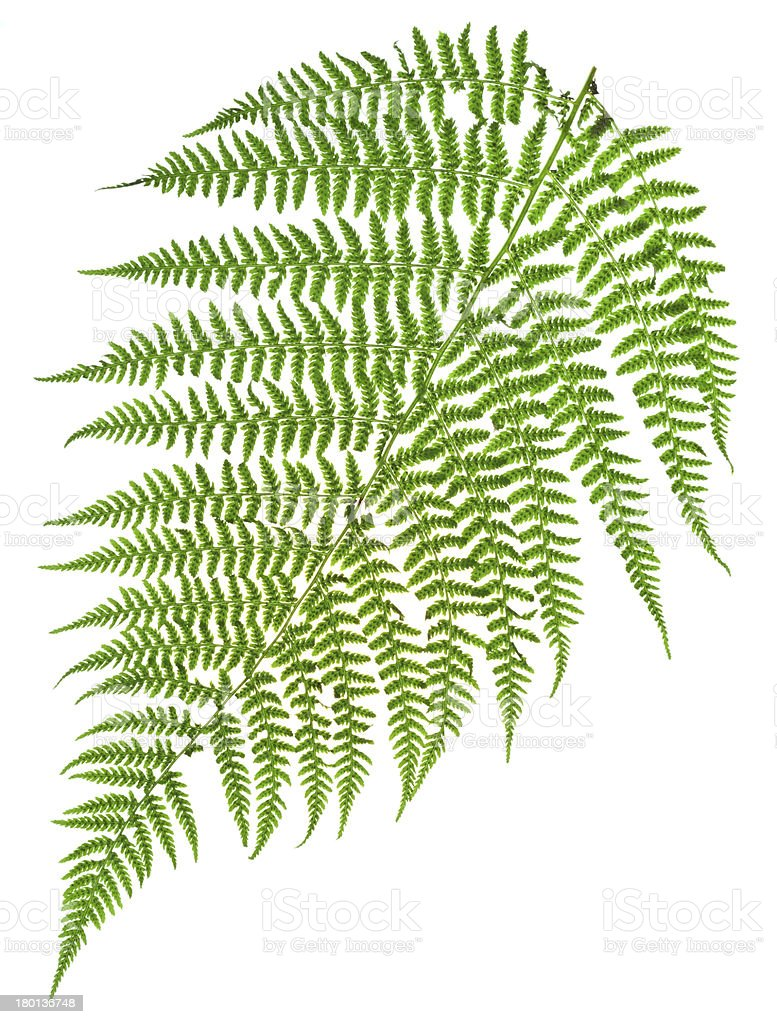 green sprig of fern royalty-free stock photo