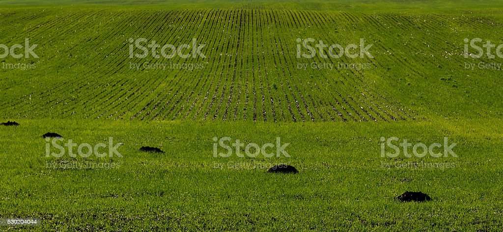 green spring field damaged by mole, vertical background with cop stock photo