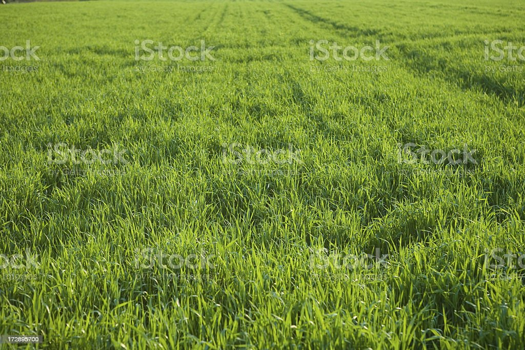 green spring field royalty-free stock photo