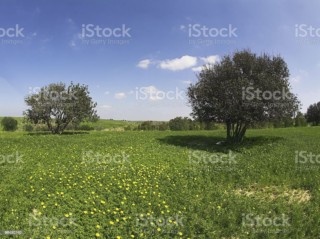 Green spring field with camomiles royalty-free stock photo