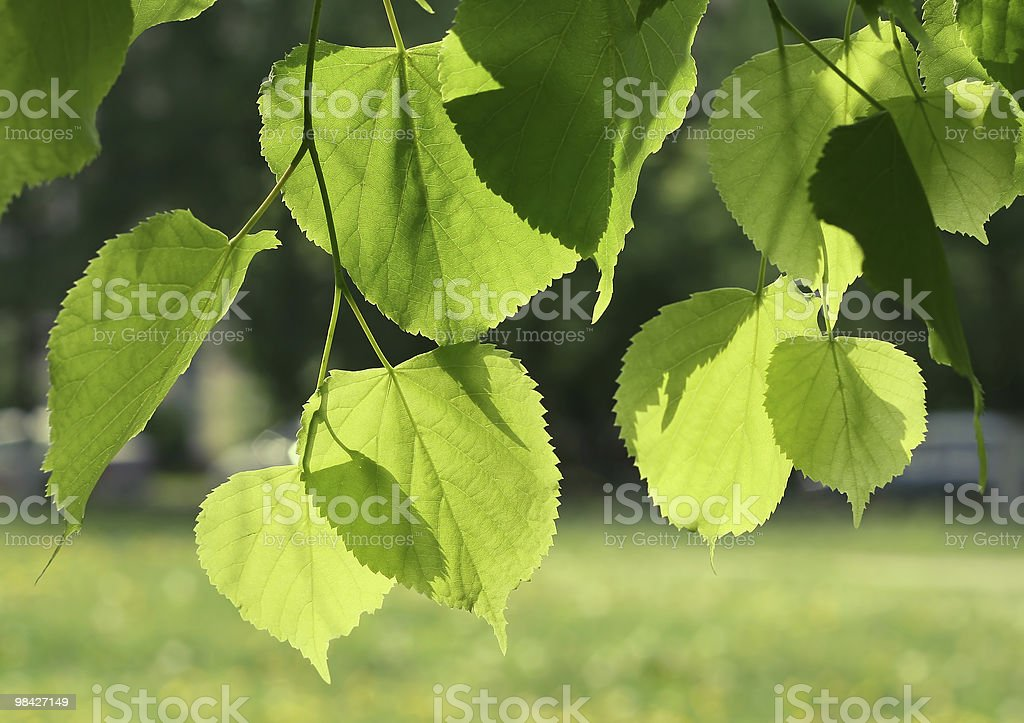green spring leaves glowing in sunlight royalty-free stock photo