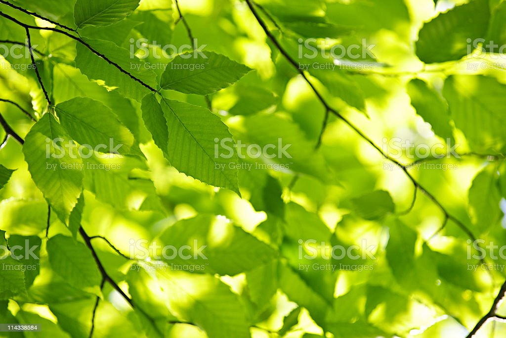 Green spring leaves royalty-free stock photo