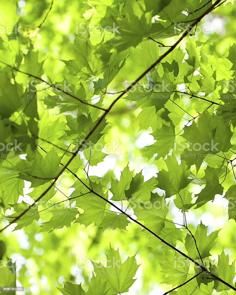 green spring maplle leaves royalty-free stock photo