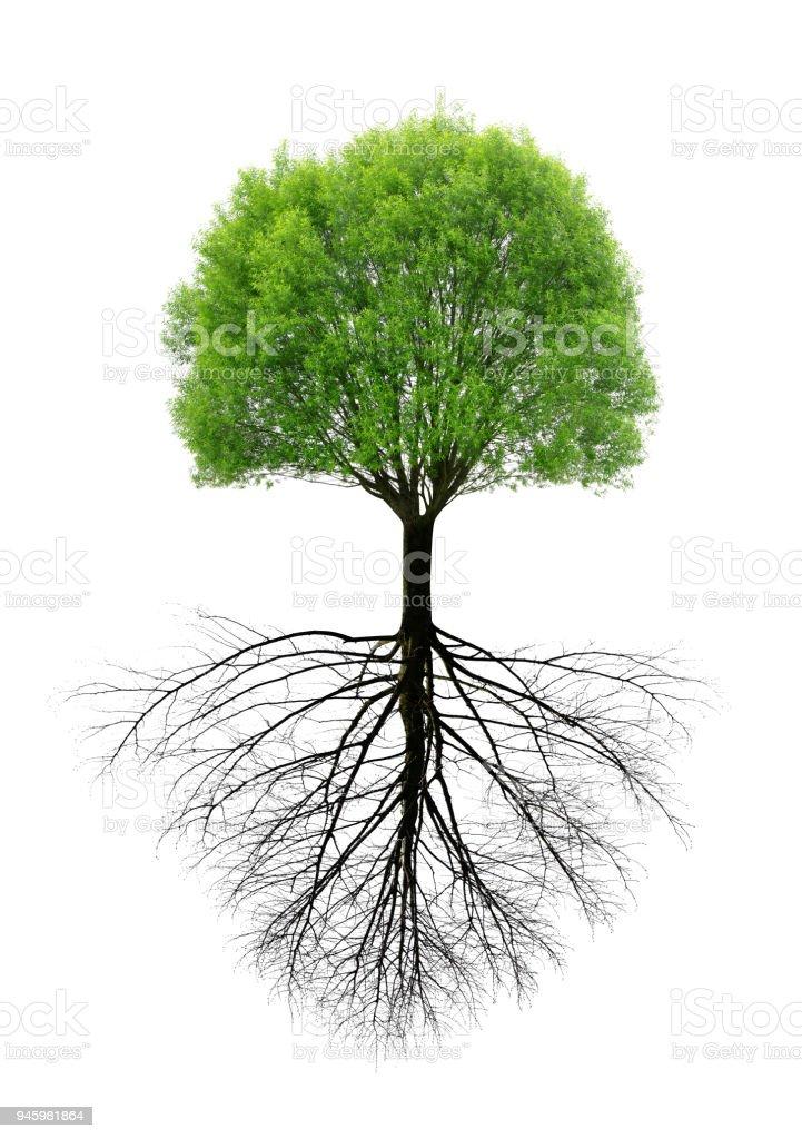 Árvore verde primavera com uma raiz. - foto de acervo