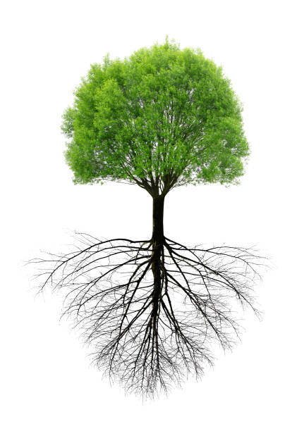 Green spring tree with a root. stock photo