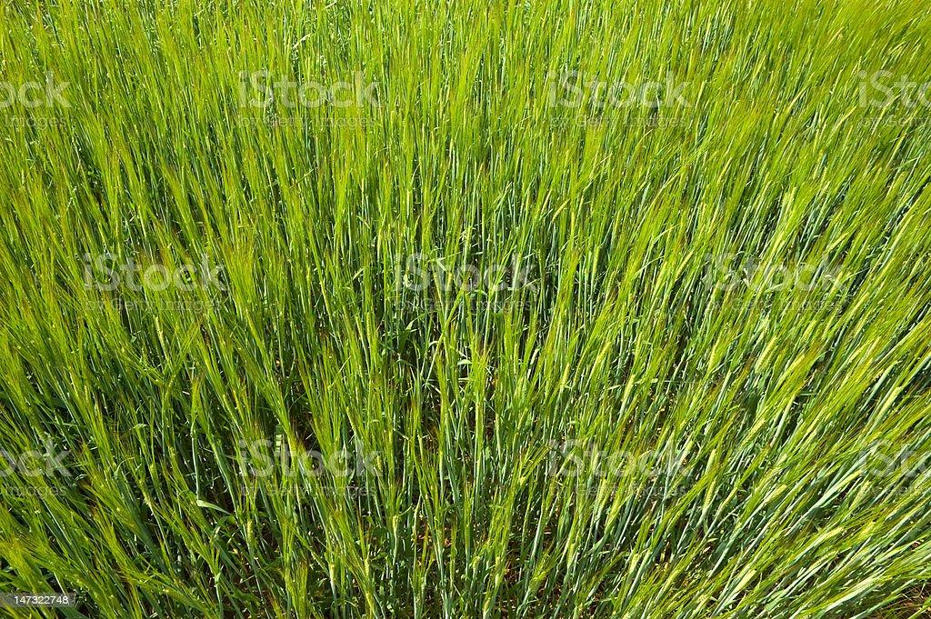 Green Spring Wheat stock photo
