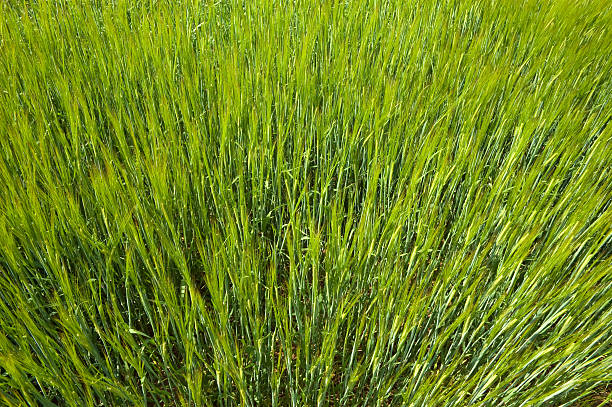 Green Spring Wheat stock photo