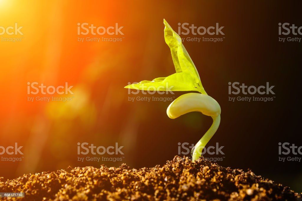 Green sprout growing from seed and color tone effect stock photo